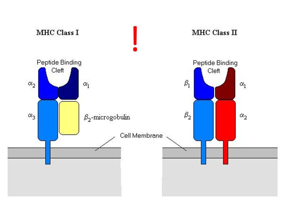 ! A szuperantigének az MHC II molekulák külső, nem peptidkötő részéhez kapcsolódnak -> egyidejűleg sok T-sejt klónt képesek aktiválni.