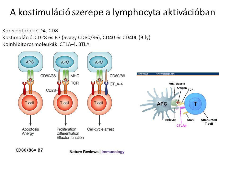A kostimuláció szerepe a lymphocyta aktivációban