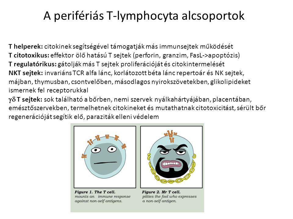 A perifériás T-lymphocyta alcsoportok