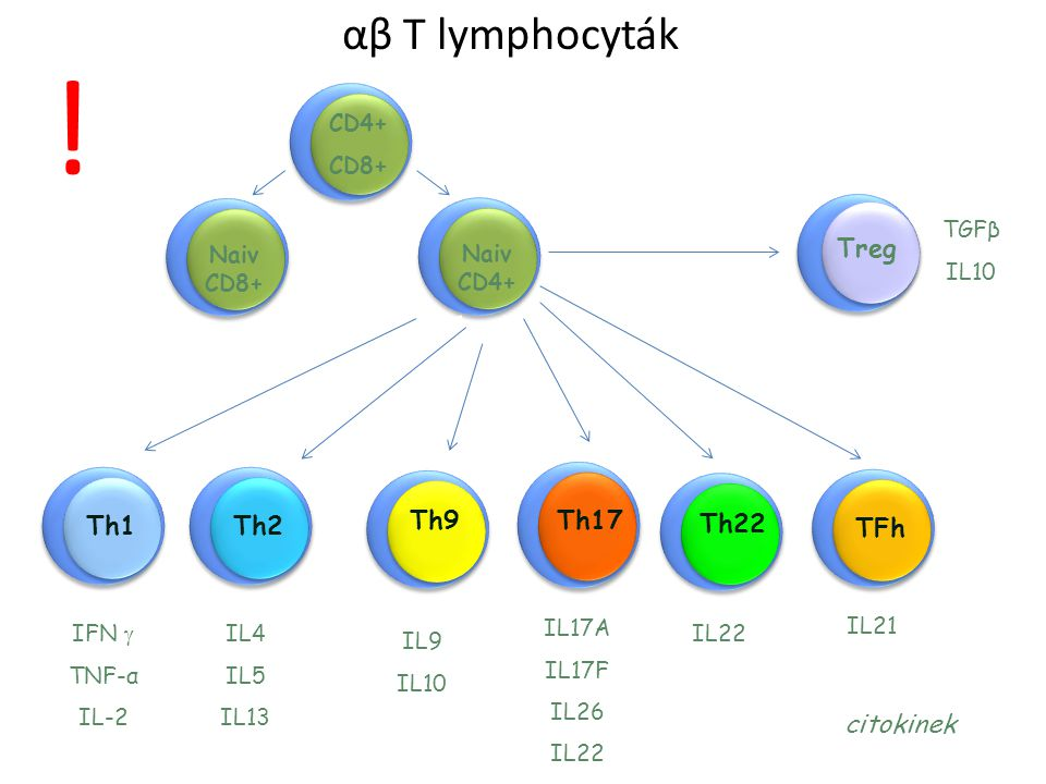 ! αβ T lymphocyták Treg Th1 Th2 Th17 Th9 Th22 TFh citokinek CD4+ CD8+