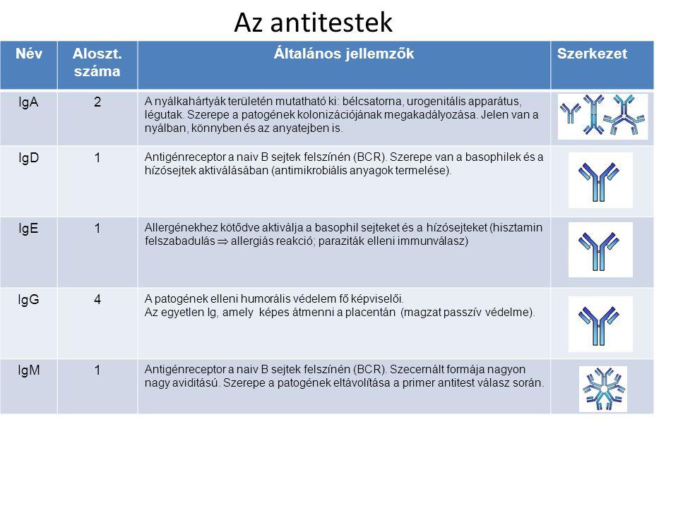 Az antitestek Név Aloszt. száma Általános jellemzők Szerkezet IgA 2