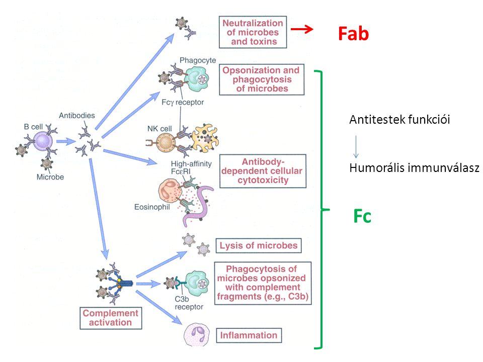 Fab Antitestek funkciói Humorális immunválasz Fc
