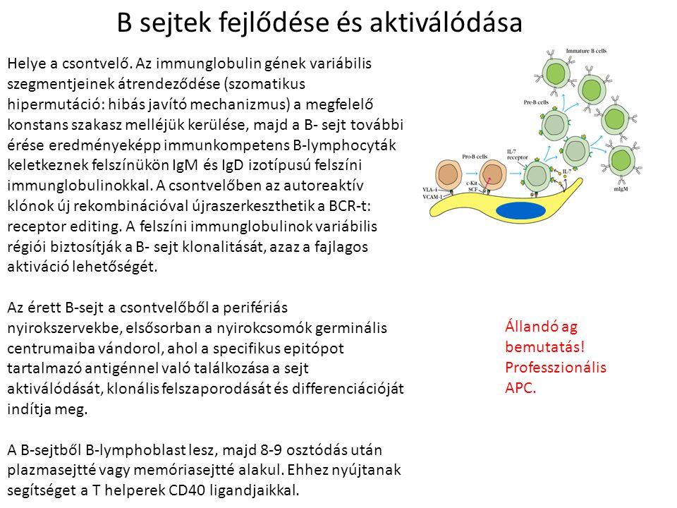 B sejtek fejlődése és aktiválódása