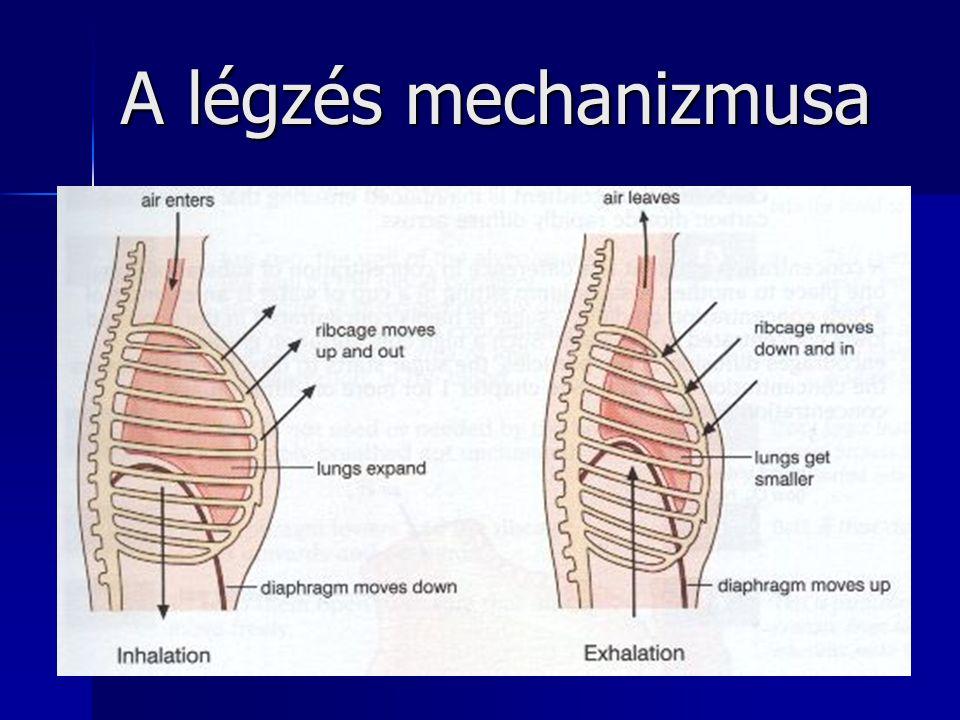 A légzés mechanizmusa