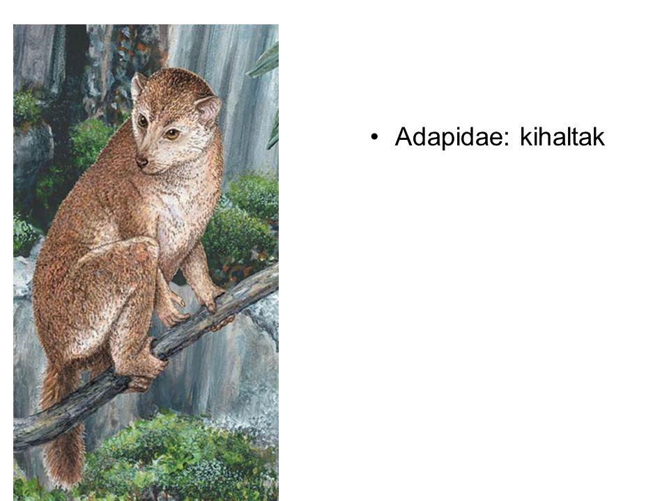 Adapidae: kihaltak