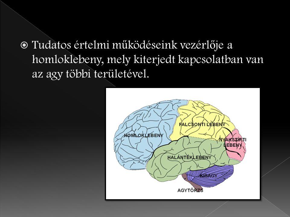 Tudatos értelmi működéseink vezérlője a homloklebeny, mely kiterjedt kapcsolatban van az agy többi területével.