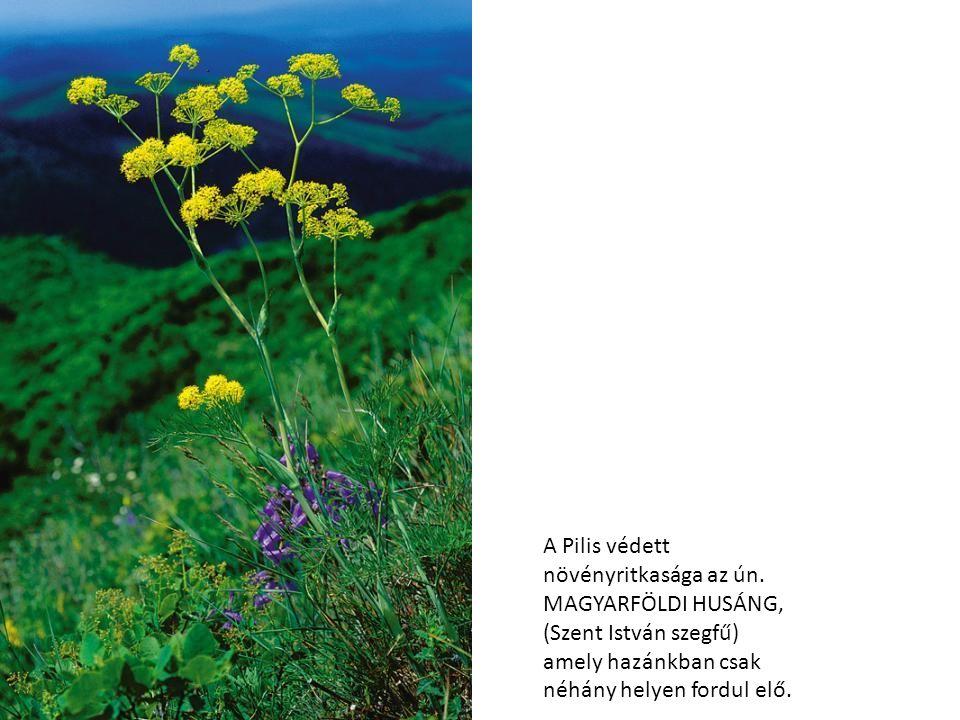 A Pilis védett növényritkasága az ún
