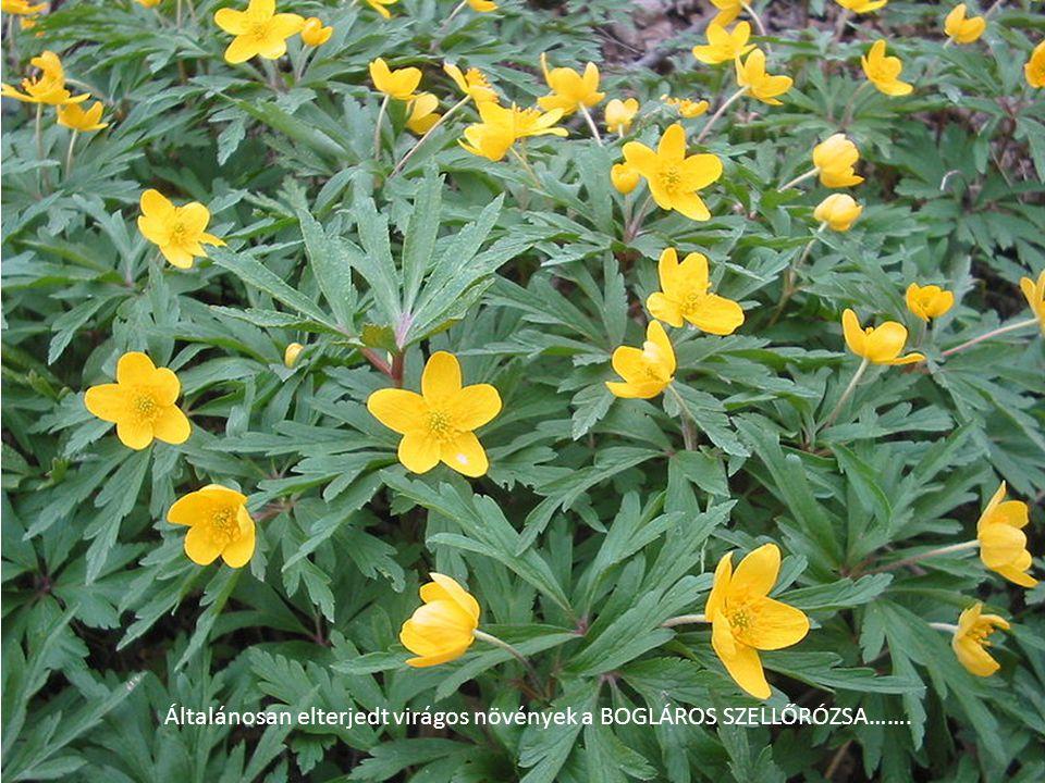 Általánosan elterjedt virágos növények a BOGLÁROS SZELLŐRÓZSA…….