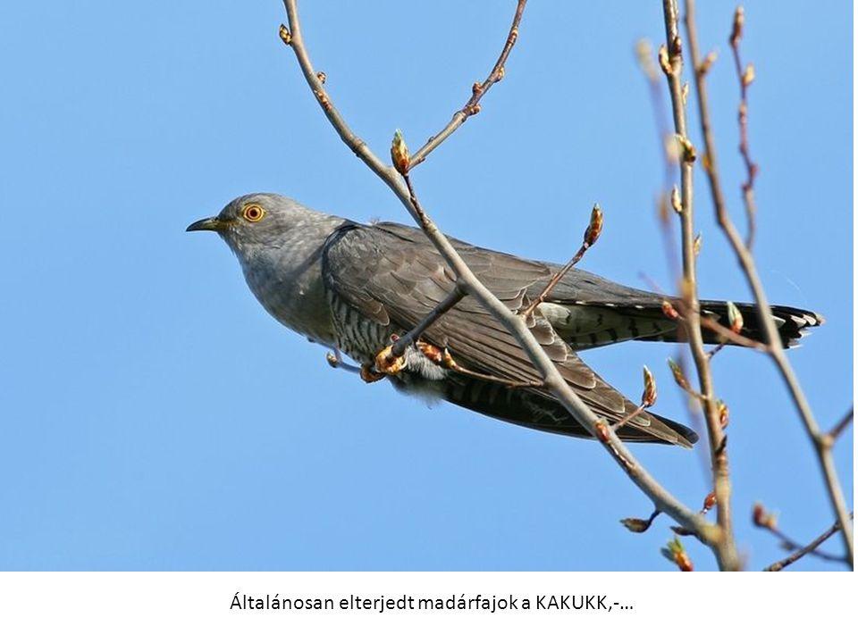 Általánosan elterjedt madárfajok a KAKUKK,-…