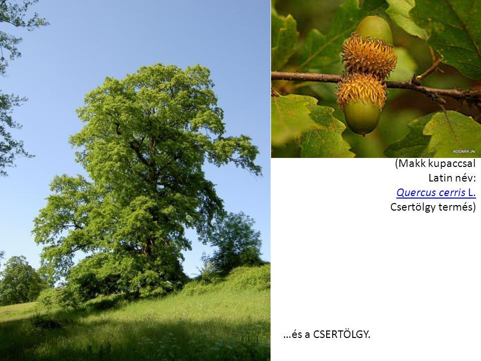 (Makk kupaccsal Latin név: Quercus cerris L. Csertölgy termés)