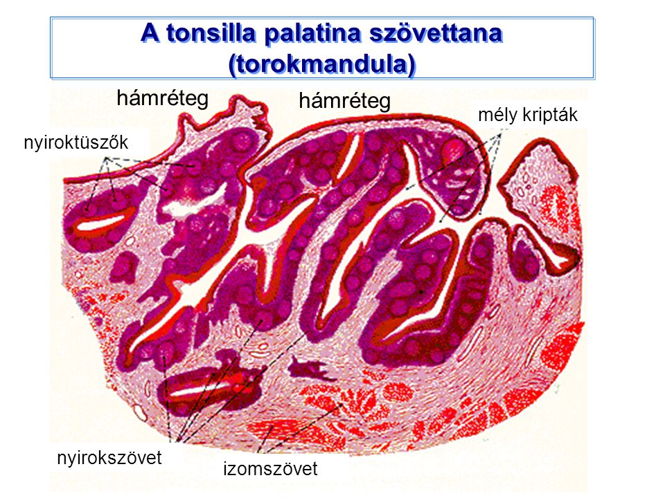 A tonsilla palatina szövettana (torokmandula)