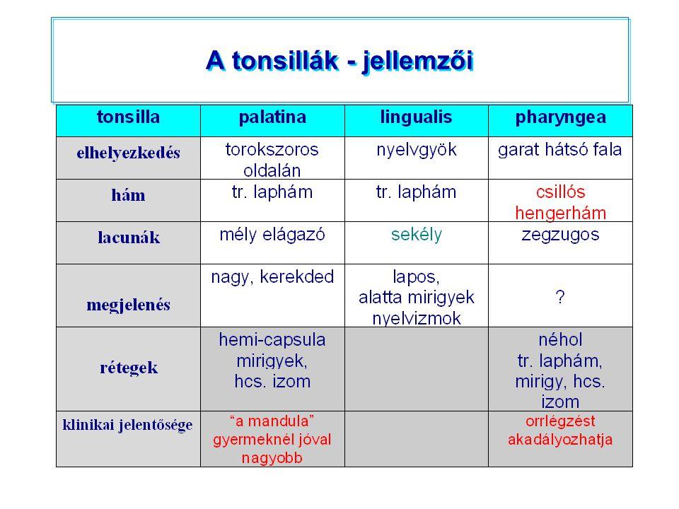 A tonsillák - jellemzői