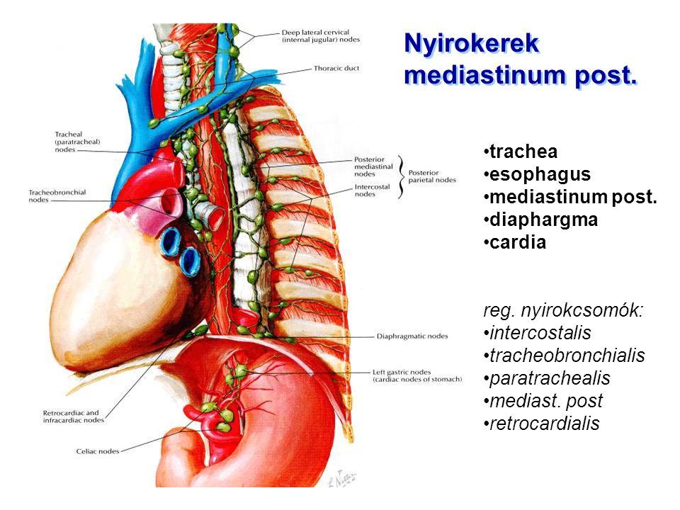 Nyirokerek mediastinum post. trachea esophagus mediastinum post.