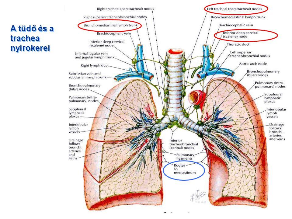 A tüdő és a trachea nyirokerei