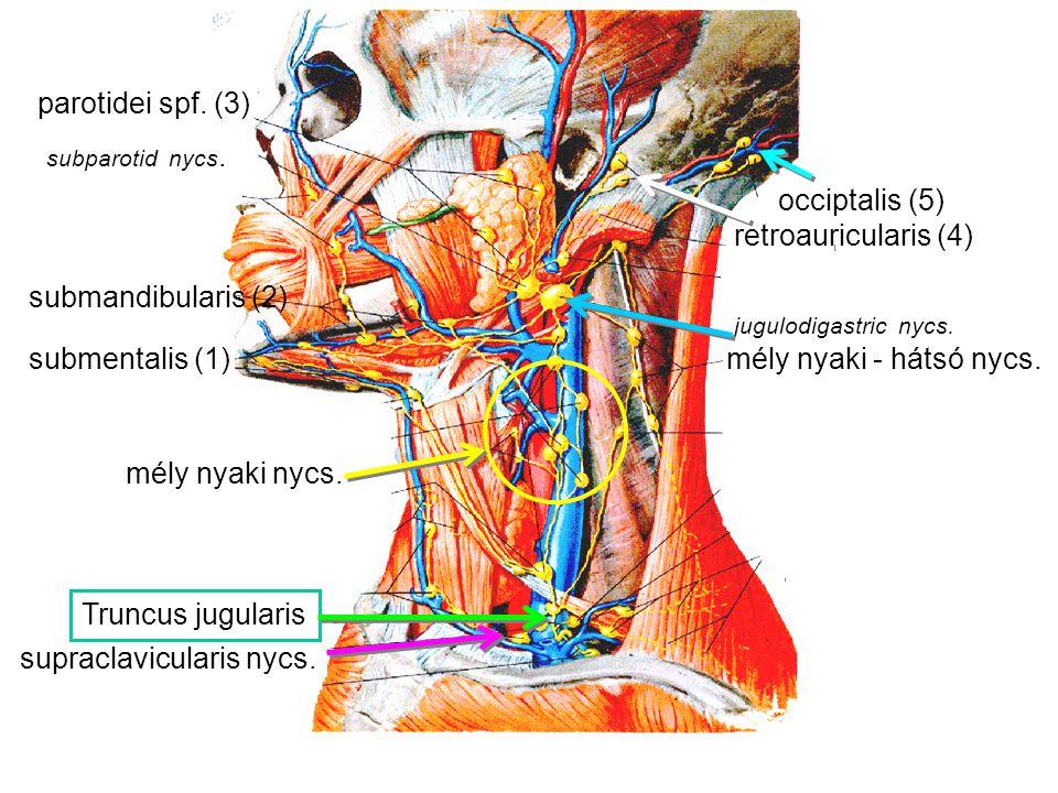 supraclavicularis nycs.