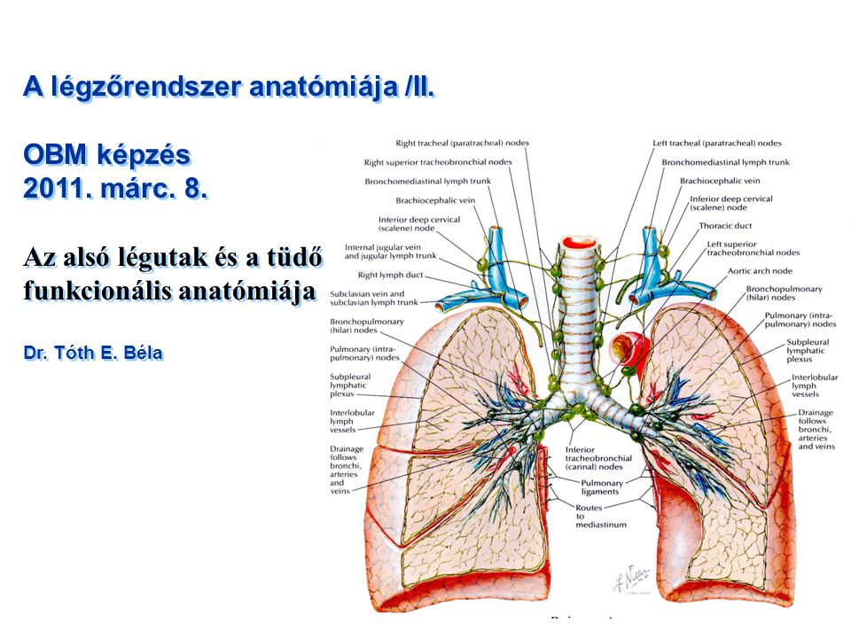A légzőrendszer anatómiája /II. OBM képzés 2011. márc. 8.