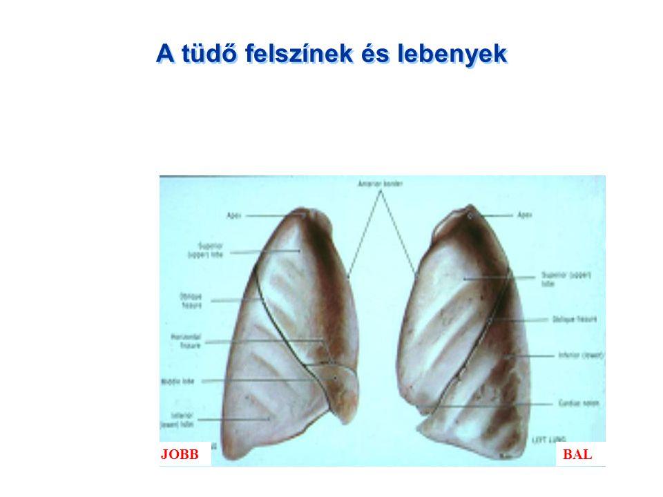 A tüdő felszínek és lebenyek