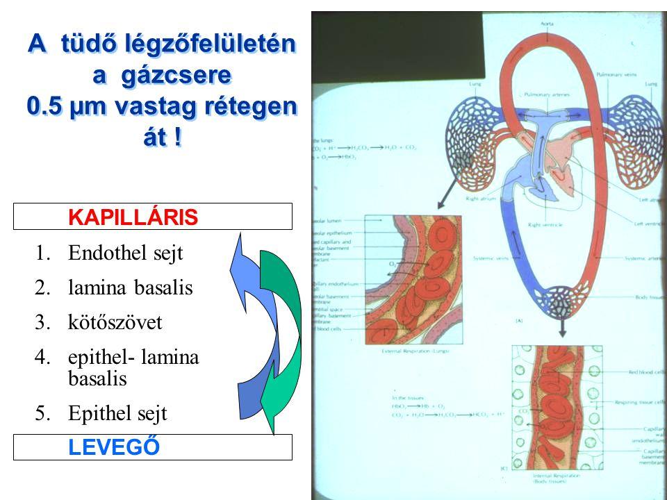 A tüdő légzőfelületén a gázcsere 0.5 µm vastag rétegen át !