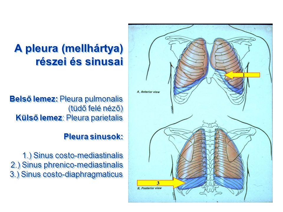 A pleura (mellhártya) részei és sinusai Belső lemez: Pleura pulmonalis (tüdő felé néző) Külső lemez: Pleura parietalis Pleura sinusok: 1.) Sinus costo-mediastinalis 2.) Sinus phrenico-mediastinalis 3.) Sinus costo-diaphragmaticus