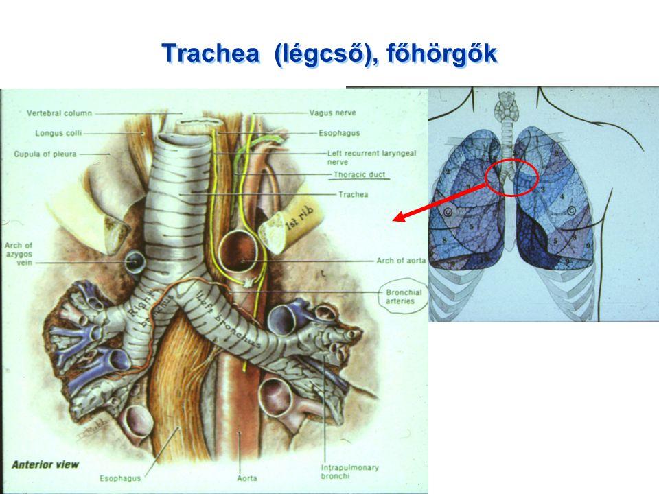 Trachea (légcső), főhörgők