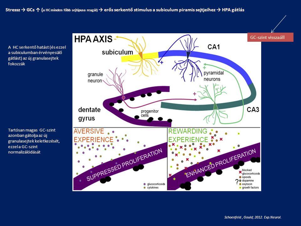 Stressz → GCs ↑ (a HC minden főbb sejtípusa reagál) → erős serkentő stimulus a subiculum piramis sejtjeihez → HPA gátlás