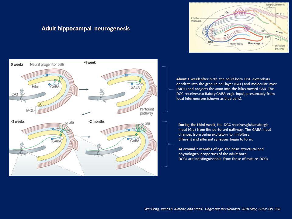 Adult hippocampal neurogenesis