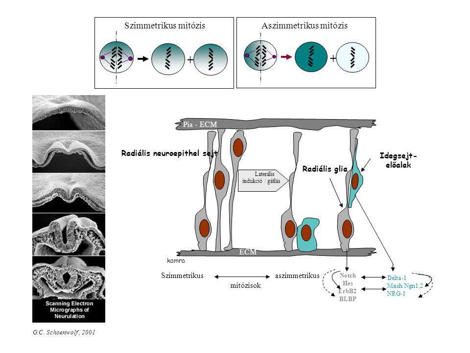 Aszimmetrikus mitózis
