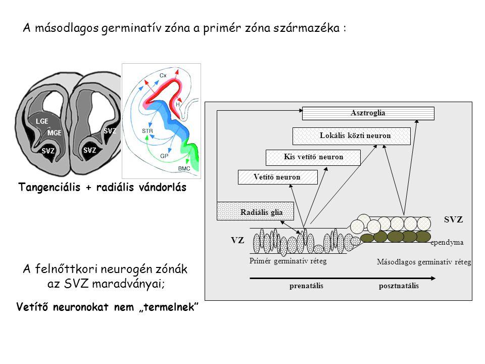 A felnőttkori neurogén zónák