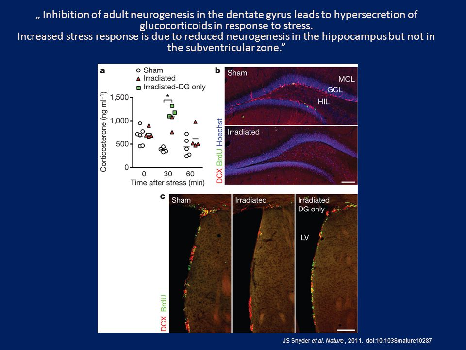 """ Inhibition of adult neurogenesis in the dentate gyrus leads to hypersecretion of glucocorticoids in response to stress."