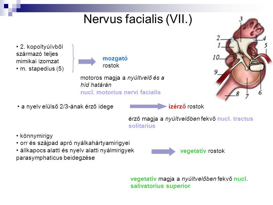 Nervus facialis (VII.) 2. kopoltyúívből származó teljes mimikai izomzat. m. stapedius (5) mozgató.