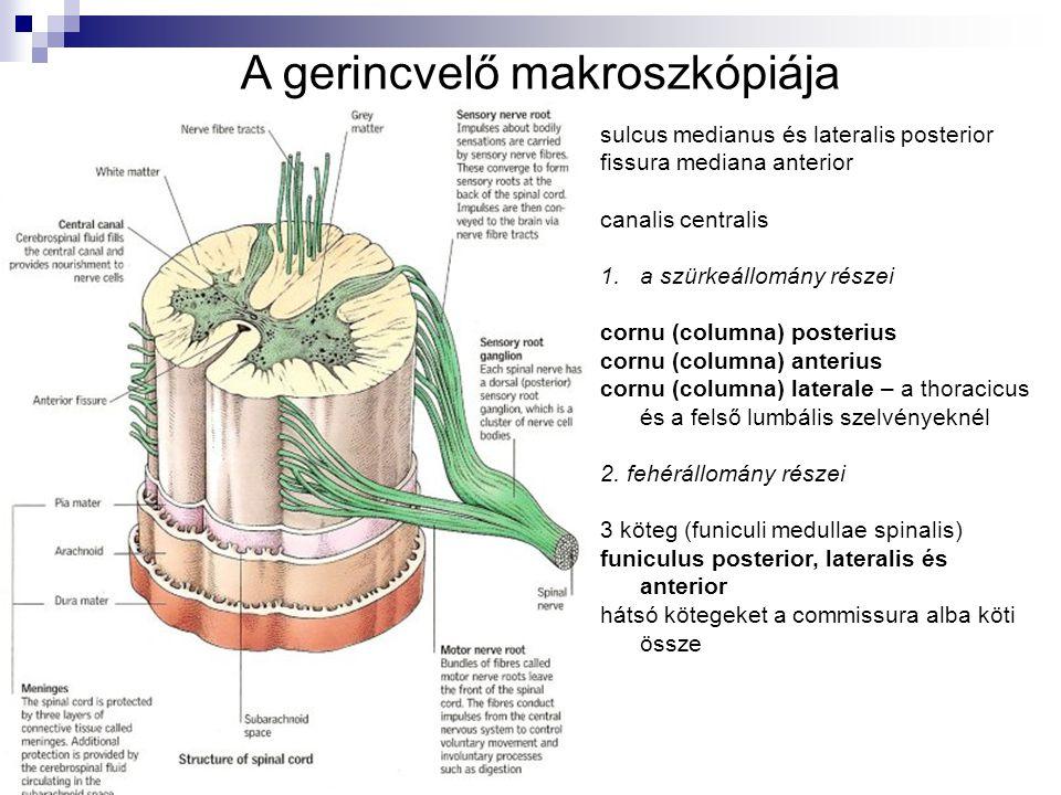 A gerincvelő makroszkópiája