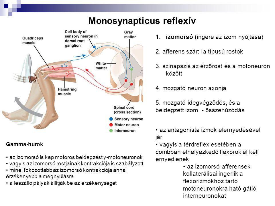 Monosynapticus reflexív