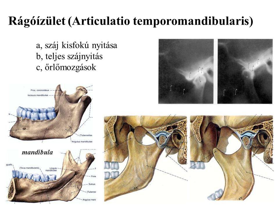 Rágóízület (Articulatio temporomandibularis)
