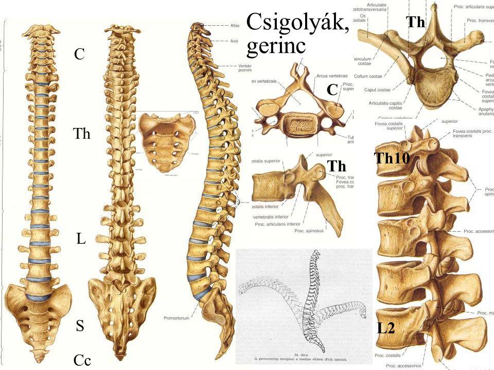 Csigolyák, gerinc Th C C Th Th10 Th L S L2 Cc