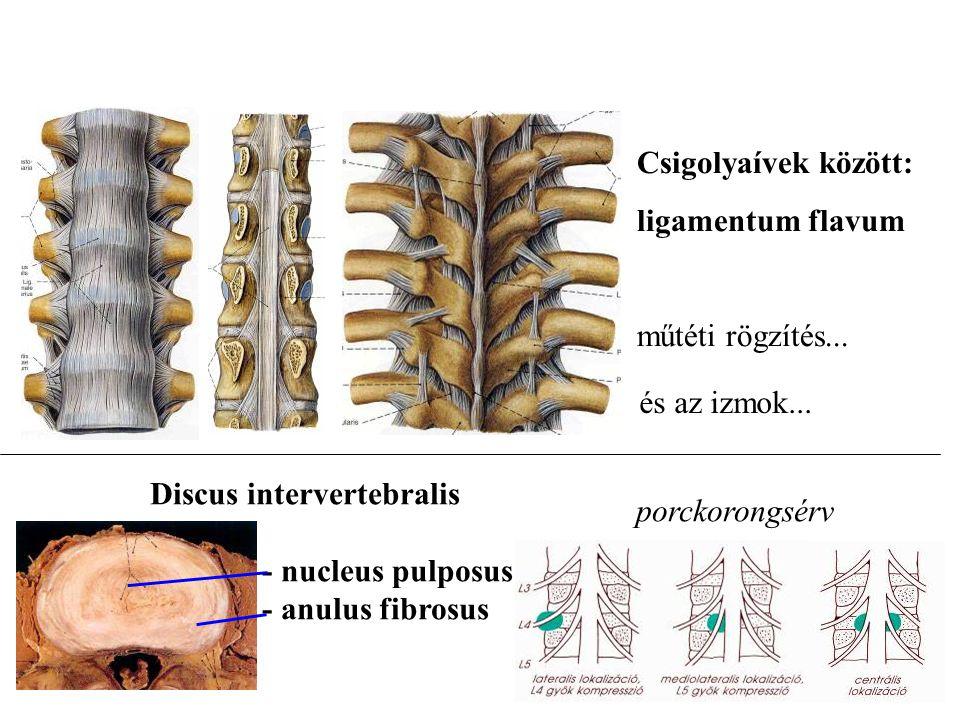 Csigolyaívek között: ligamentum flavum. műtéti rögzítés... és az izmok... Discus intervertebralis.