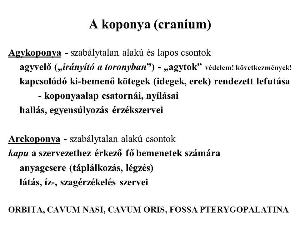 A koponya (cranium) Agykoponya - szabálytalan alakú és lapos csontok