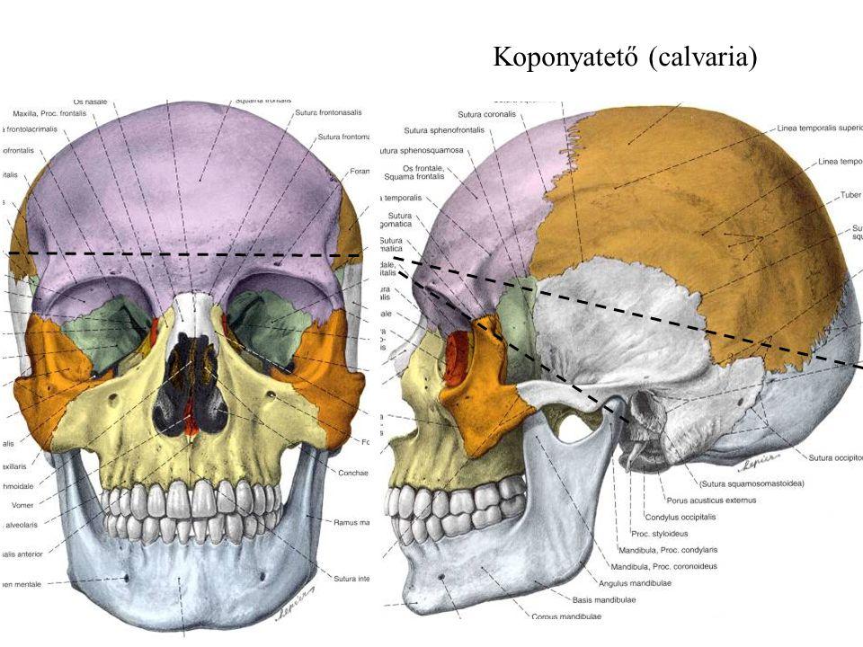 Koponyatető (calvaria)