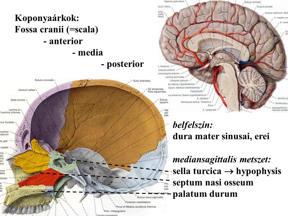 Koponyaárkok: Fossa cranii (=scala) - anterior. - media. - posterior. belfelszín: dura mater sinusai, erei.