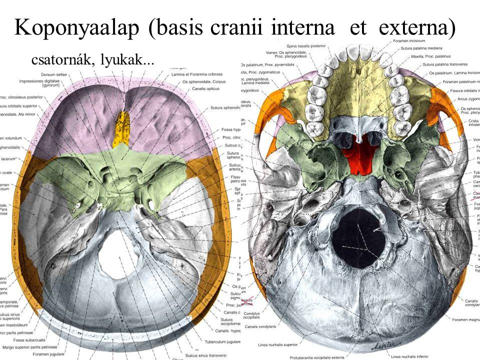 Koponyaalap (basis cranii interna et externa)