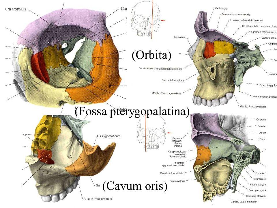 (Orbita) (Fossa pterygopalatina) (Cavum oris)