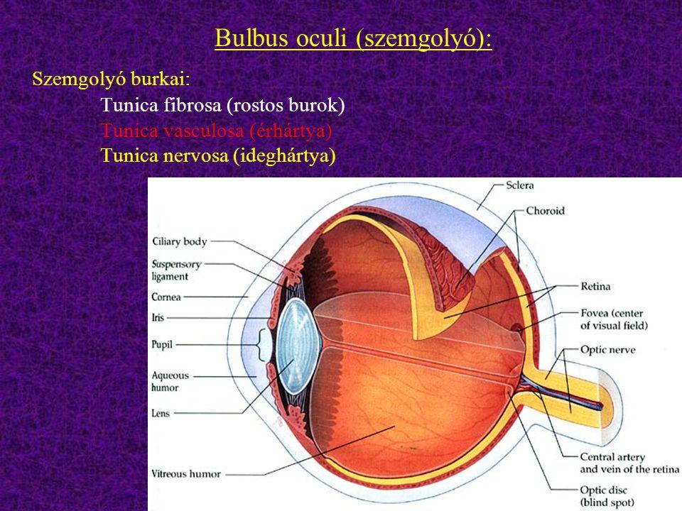 Bulbus oculi (szemgolyó):
