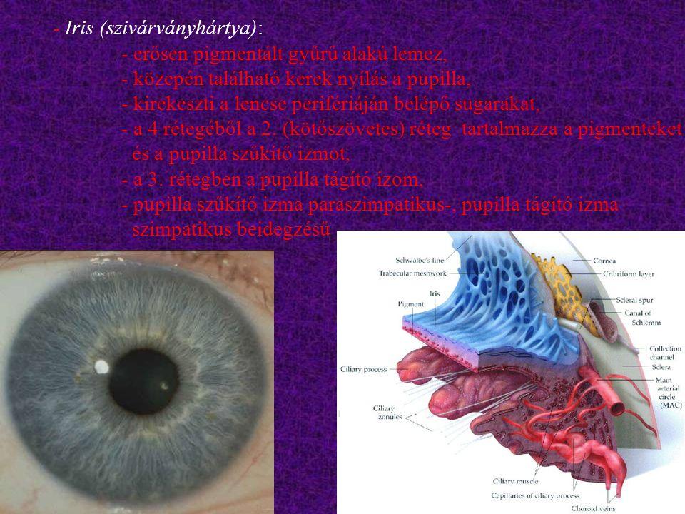 Iris (szivárványhártya):. - erősen pigmentált gyűrű alakú lemez,