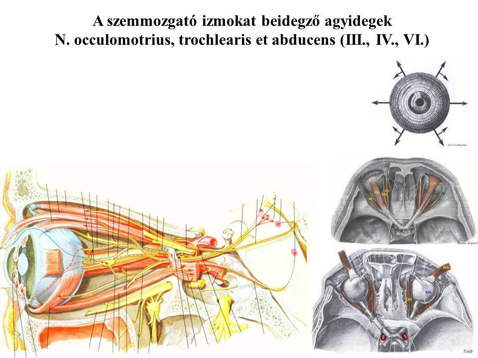 A szemmozgató izmokat beidegző agyidegek