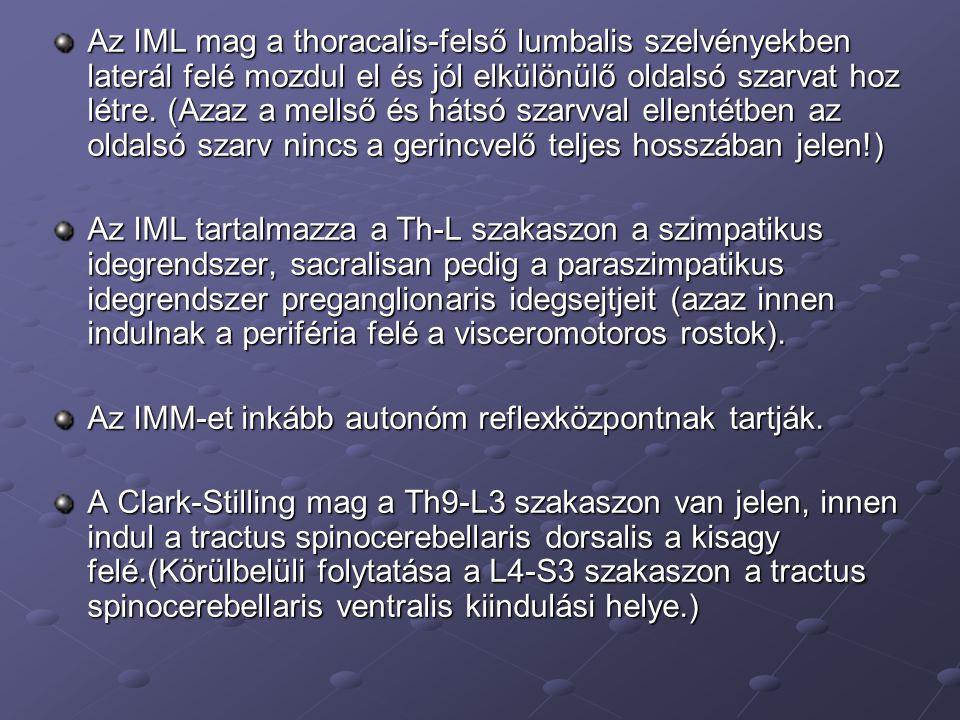 Az IML mag a thoracalis-felső lumbalis szelvényekben laterál felé mozdul el és jól elkülönülő oldalsó szarvat hoz létre. (Azaz a mellső és hátsó szarvval ellentétben az oldalsó szarv nincs a gerincvelő teljes hosszában jelen!)