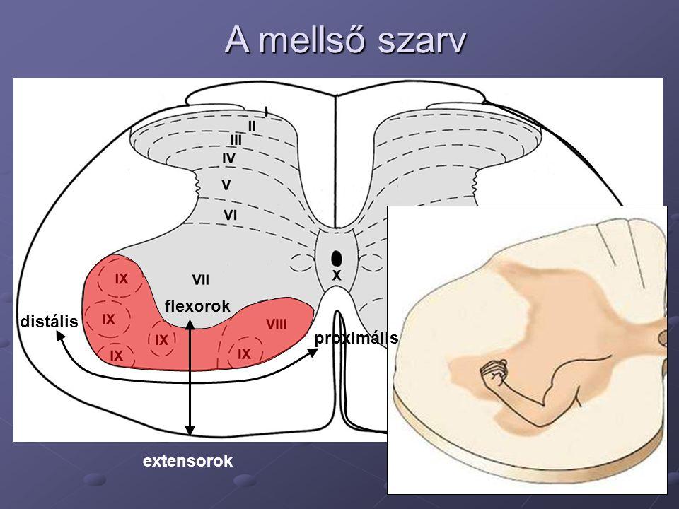 A mellső szarv flexorok distális proximális extensorok