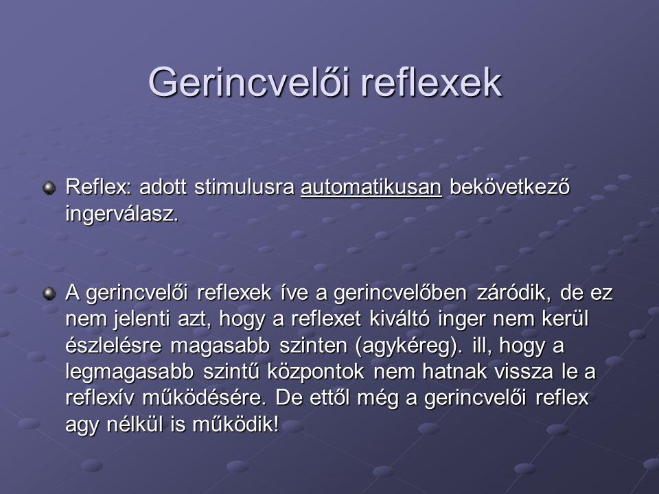 Gerincvelői reflexek Reflex: adott stimulusra automatikusan bekövetkező ingerválasz.