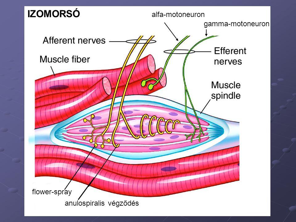 IZOMORSÓ alfa-motoneuron gamma-motoneuron flower-spray