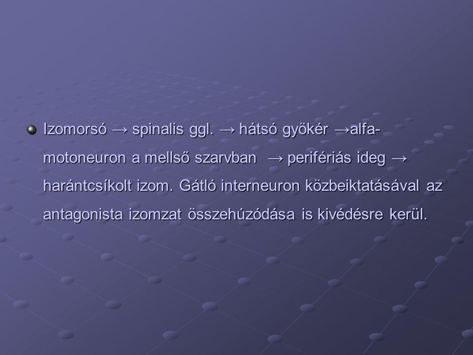 Izomorsó → spinalis ggl