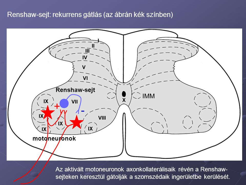 + - Renshaw-sejt: rekurrens gátlás (az ábrán kék színben) Renshaw-sejt