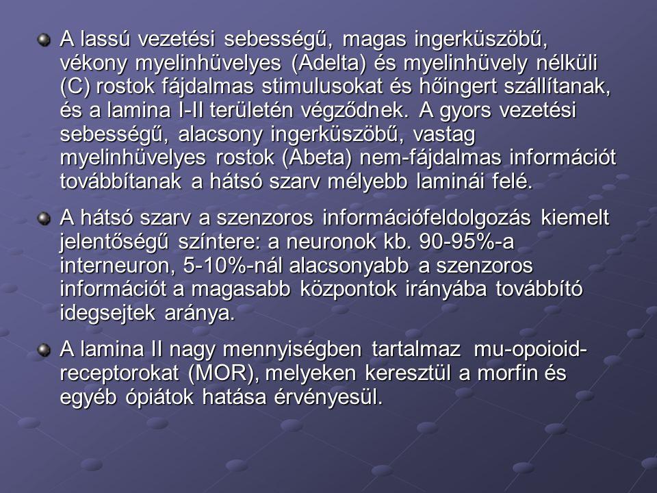 A lassú vezetési sebességű, magas ingerküszöbű, vékony myelinhüvelyes (Adelta) és myelinhüvely nélküli (C) rostok fájdalmas stimulusokat és hőingert szállítanak, és a lamina I-II területén végződnek. A gyors vezetési sebességű, alacsony ingerküszöbű, vastag myelinhüvelyes rostok (Abeta) nem-fájdalmas információt továbbítanak a hátsó szarv mélyebb laminái felé.